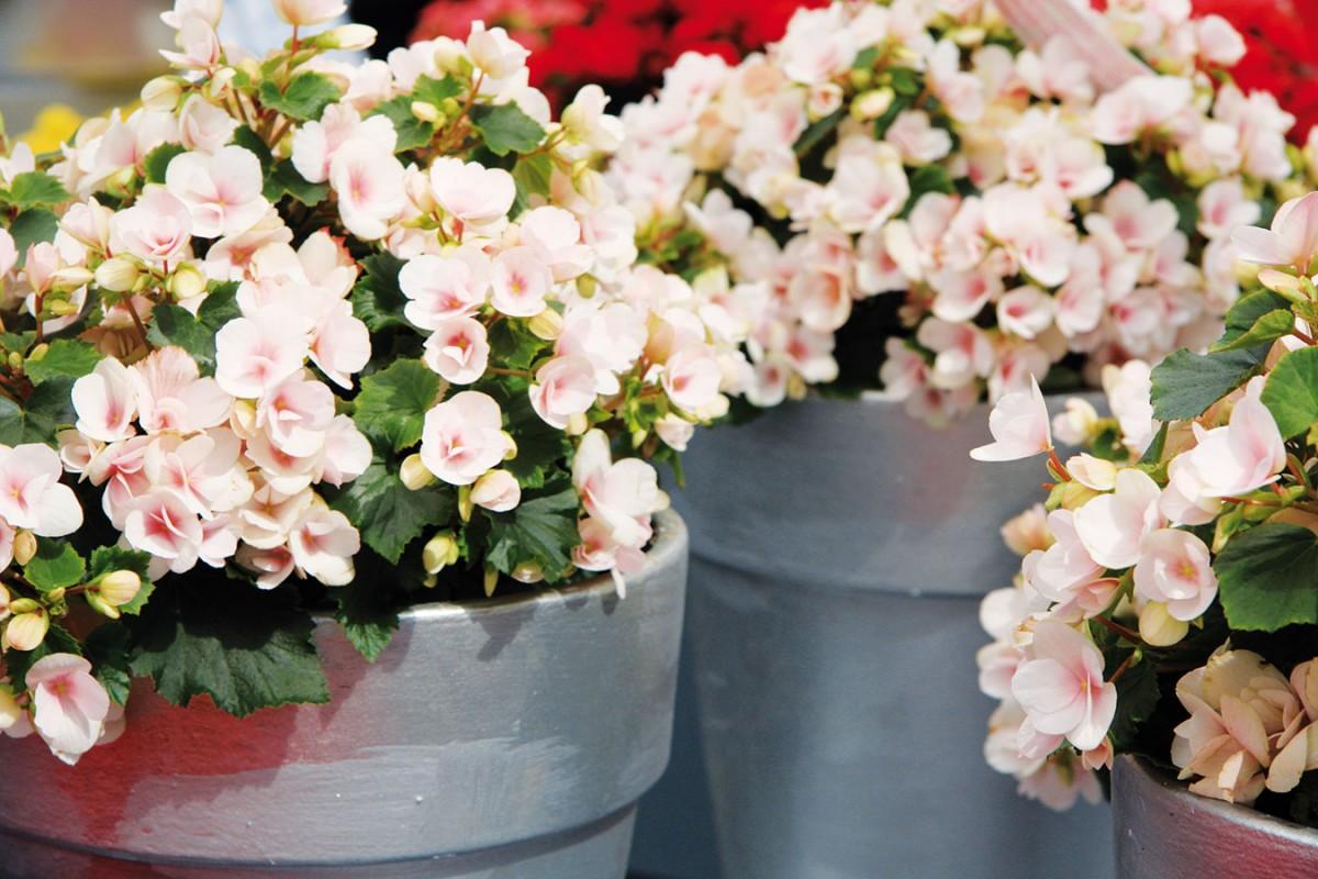 Begónie s více či méně sytými květy vyniknou v bílé kuchyni. Umístěte vedle sebe několik jedinců. FOTO DANIEL KOŠŤÁL