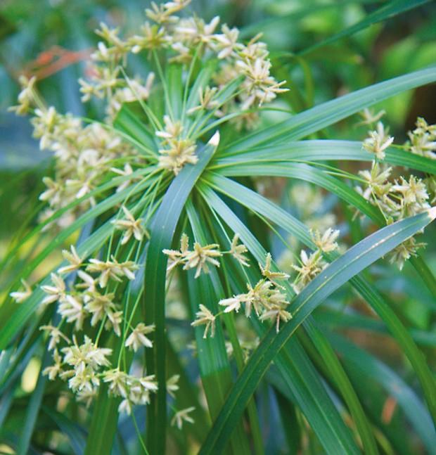 Šáchor (Cyperus alternifolius) miluje vyšší vzdušnou vlhkost. Vkoupelně se mu proto bude dařit zcelého bytu nejlépe. FOTO DANIEL KOŠŤÁL