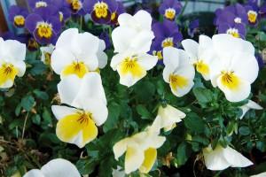 Některé květiny jsou natolik drobné, že samy osobě příliš nevyniknou, proto se používají do velkých skupin. Například jemné macešky rozehrají úžasnou plejádu barev, především vornamentálních záhonech, ale hodí se ipro výsadby určené pro pohled zblízka. Každý květ je totiž malé umělecké dílko. FOTO LUCIE PEUKERTOVÁ