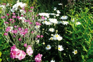 Působivé spojení. Už jste zkusili vysadit vedle sebe záhonové trvalky avonné růže? Tato kombinace je poměrně běžná vanglických zahradách. Kromě krásných květů na vás dýchne příjemná letní vůně, která prosytí celou zahradu. FOTO LUCIE PEUKERTOVÁ