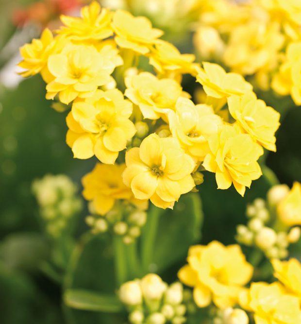 Kalanchoe (Kalanchoe blossfeldiana) je vposledních letech velice oblíbená auplatnění nachází prakticky vcelém bytě. Její drobné kvítky mohou hrát různými barvami – od bílé přes žlutou, oranžovou, růžovou ačervenou až po fialovou. FOTO ISIFA/SHUTTERSTOCK