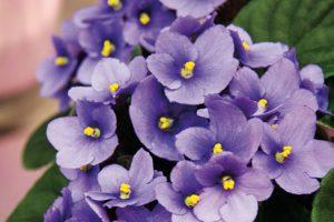 Africké fialky (Saintpaulia ionatha) díky svým pěkným barevným květům oživí každý dětský pokoj. Vítaným bonusem je, že jsou nenáročné na údržbu. FOTO ISIFA/SHUTTERSTOCK