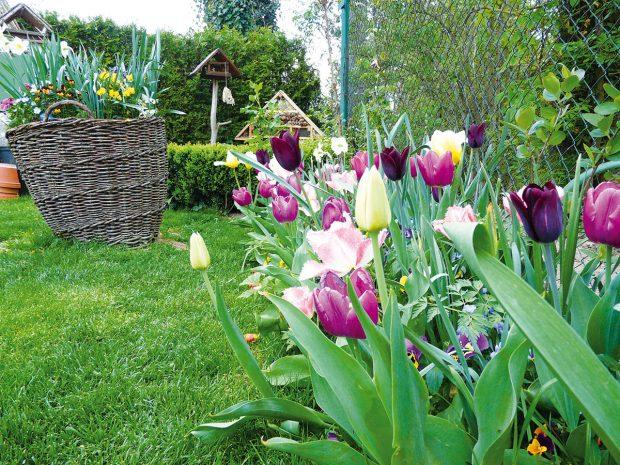Přírodní charakter venkovské zahrady si dobře rozumí spřírodními materiály. Mezi ty nejčastější bezesporu patří kámen, proutí adřevo vrůzných podobách. Proutěné koše nemusí sloužit pouze svému původnímu účelu, zajímavě vnich vyniknou třeba pestré květy jarních cibulovin. FOTO LUCIE PAUKERTOVÁ