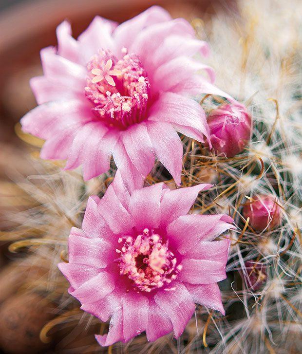 Kaktusy jsou pro dětské obyvatele bytu skutečně lákavé arádi znich tvoří sbírky. Součástí takové sbírky může být ipěkně kvetoucí mamilárie. FOTO ISIFA/SHUTTERSTOCK
