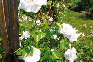 Rostliny sdekorativními květy dotváří kolorit většiny zahrad, otěch venkovských to ale platí dvojnásob. Nechte isvůj pozemek krásně provonět růžemi, vyzkoušet můžete protentokrát staré odrůdy nebo anglické hybridy, které dodají zahradě nevšední atmosféru. FOTO LUCIE PAUKERTOVÁ