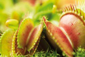 Dalšími oblíbenci dětí jsou masožravé rostliny, které dovedou dětskou pozornost zaujmout skutečně na dlouho. Pořídit jim můžete například mucholapky (Dionaea muscipula). FOTO ISIFA/SHUTTERSTOCK