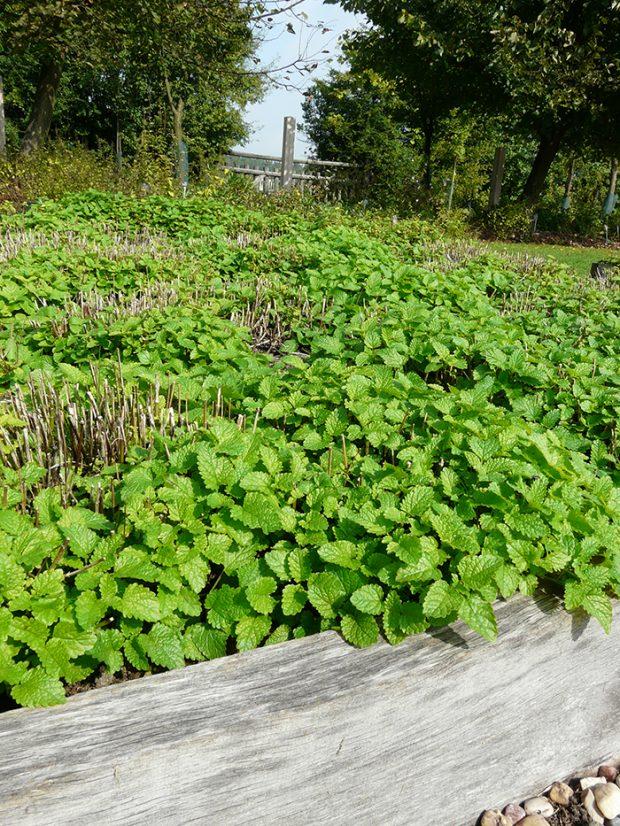 Pestovani na vyvysenem bylinkovem zahonu