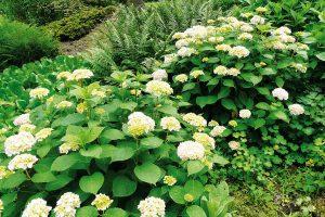 Možná vás překvapí, kolik okrasných rostlin vyžaduje přistínění. Dobrým příkladem jsou hortenzie velkolisté, které na plném slunci avpřísušku rozhodně fungovat nebudou, ale pod rozvolněným porostem jehličnanů se jim bude dařit výborně. FOTO LUCIE PEUKERTOVÁ