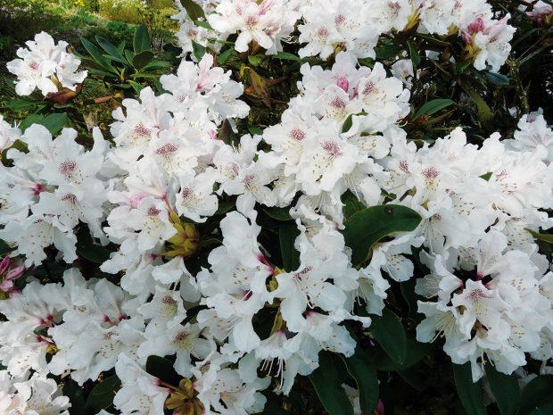 Osvědčenou skupinou rostlin do tmavého stínu jsou některé vřesovištní rostliny. Mezi nimi na plné čáře vedou azalky nebo stálezelené pěnišníky, kterým vyhovuje ikyselý opad jehlic pod jehličnany, se kterým se jinak příliš nepřátelí jiné skupiny rostlin. FOTO LUCIE PEUKERTOVÁ