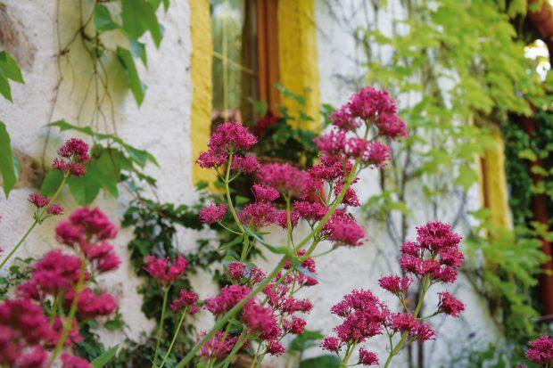 Květiny bezpochyby patří do každé zahrady, vPlavsku ovšem hrají mnohem všestrannější roli, než by se mohlo na první pohled zdát. Nejenže jsou krásné adotváří tak kolorit venkovské zahrady, ale ve zdejším sortimentu převládají rostliny medonosné, které opylovačům každý rok připraví skvělou hostinu. FOTO LUCIE PEUKERTOVÁ