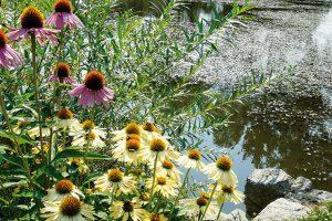 Starý rybník byl původně odsouzen kzavezení, ale Gebrovi se zasloužili ojeho záchranu. Dnes zde žijí svůj ničím nerušený život vodní živočichové ahladinu halí pestrými květy plavíny alekníny. FOTO LUCIE PEUKERTOVÁ