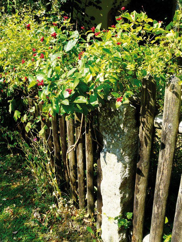 Bujně rostoucí popínavky už zcela ovládly plaňkový plot uzahrady určené pro hosty. Izde převládají druhy, které jsou nejen krásné, ale zároveň iužitečné. Květy zimolezů lákají čmeláky avčely. FOTO LUCIE PEUKERTOVÁ