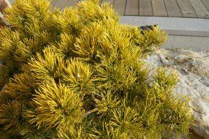 Borovice klec ´Winter Gold´ na zimu prebarvuje jehlice do zlate barvy. foto: Lucie Peukertová