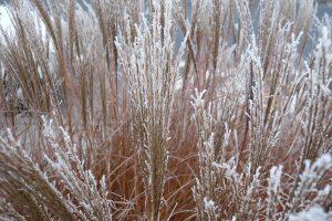 Okrasne travy v zime do zahrady vnasi zcela jiny aspekt nez ostatni rostliny. foto: Lucie Peukertová