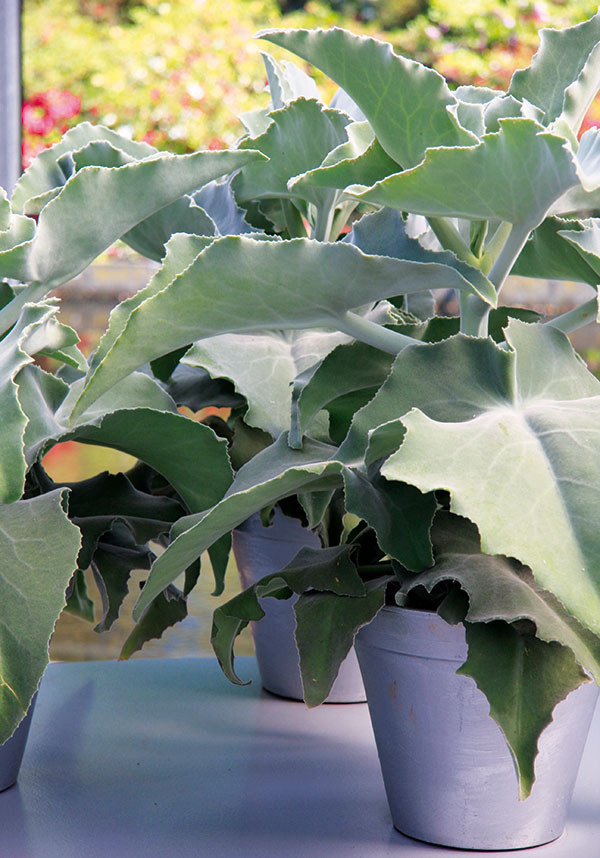 Kolopejka je pěstitelsky nenáročný sukulent, který vyžaduje dostatek světla adobře snáší isušší vzduch, proto je vhodný ina sluncem zalité parapety. FOTO DANIEL KOŠŤÁL