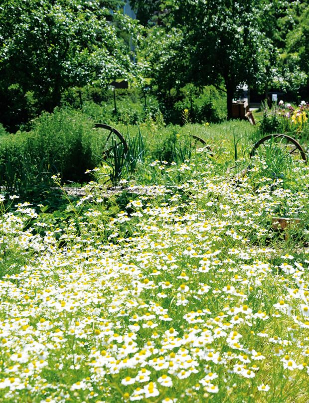 Krása aužitek nejsou jedinými pozitivními vlastnostmi léčivých rostlin, které by si měly najít cestu do každé přírodní zahrady založené na ekologických principech. Určitě vás bude bavit ijejich pěstování, jsou to totiž rostliny opravdu nenáročné. FOTO LUCIE PEUKERTOVÁ