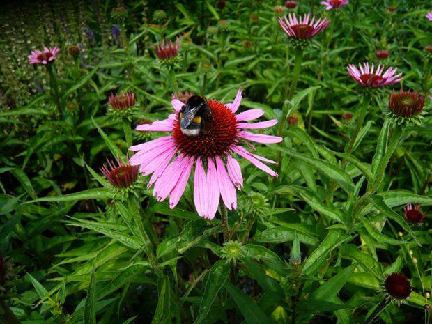 Nebojte se v zeleninove zahrade pestovat i nektere medonosne trvalky, nalakaji do zahrady uzitecny hmyz.