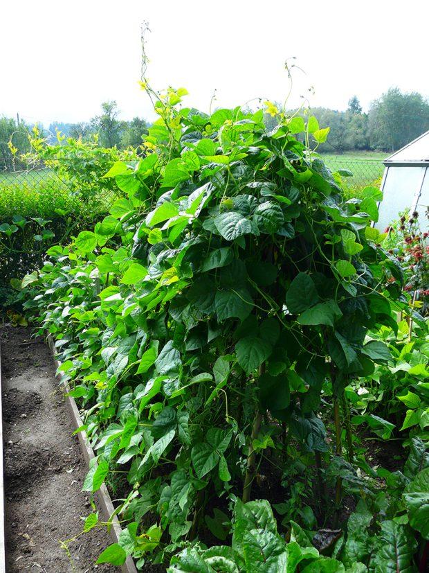 Pestujeteli popinavou zeleninu, vytvorte ji jiz na jare opory z prouti.