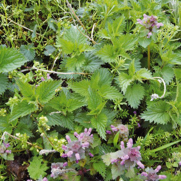 Zkopřivy vyrobíte skvělou bylinnou jíchu, kterou pohnojíte plodiny náročné na dusík. foto Lucie Peukertová