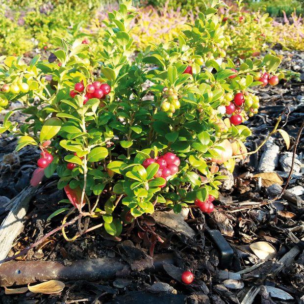 Některé rostliny vyžadují kyselou půdu. Tu namícháte zrašeliny, ale vpřírodní zahradě upřednostněte raději listovku. foto Lucie Peukertová