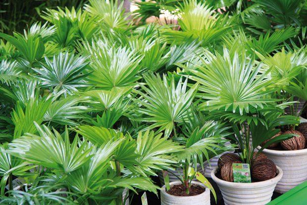 Palmy se znovu začínají objevovat vmoderních interiérech. Vprostoru působí dominantně, pěkně se rozrůstají avnášejí do něj harmonii. Nabídka těchto rostlin se zajímavě rozšiřuje, vybrat si můžete například livistonii, bambusovou palmu, likualu nebo palychu. Palmy představují zajímavou alternativu kjukám adracénám. FOTO DANIEL KOŠŤÁL