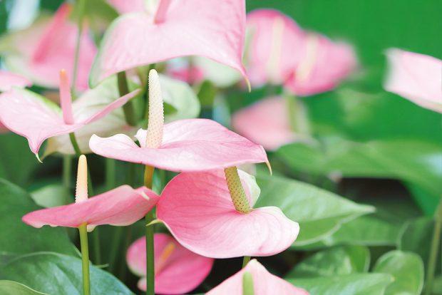 Exotická toulitka působí reprezentativně, dlouho kvete anevyžaduje specifickou péči. Působivý celek získáte, když do jedné širší nádoby vysadíte více jedinců, například isrůzně zbarvenými květy. (Více otoulitce najdete na straně 92.) foto isifa/shutterstock