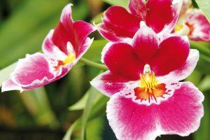 Orchideje patří kmimořádně oblíbeným pokojovým rostlinám. Nejčastěji se můžete setkat spěstitelsky nenáročným můrovcem, zkušenější pěstitelé mohou zvolit iméně tradiční druh, například oncidium. Další volbou jsou miltonie či extravagantní vandy. foto isifa/shutterstock