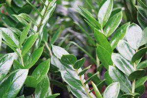 Nenáročný zamiokulkas představuje jednu znejpěstovanějších rostlin současnosti. Vynikne ve skupinkách avětší druhy ijako solitéry. Rostlině se nejlépe daří na světlém místě asnese isucho. Od jara do konce léta ji musíme přihnojovat, čímž se znásobí množství výhonků. FOTO DANIEL KOŠŤÁL