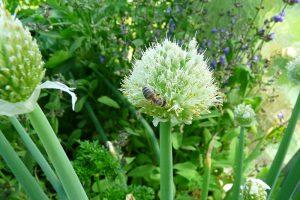Bylinky do zahrady nalakaji uzitecne opylovace. foto: Lucie Peuker