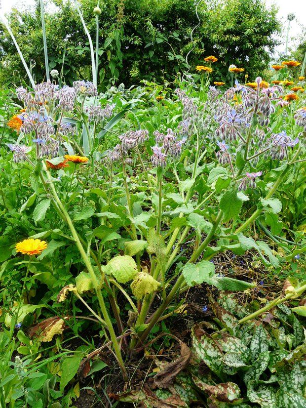 V permakulturnich zahradach jsou oblibena zvlaste druhove pestra bylinkoviste. foto: Lucie Peukertová