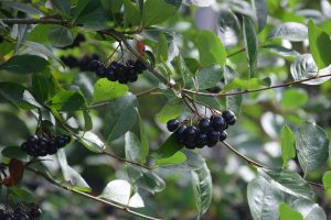 Temnoplodec cernoplody znamy jako cerna jerabina.