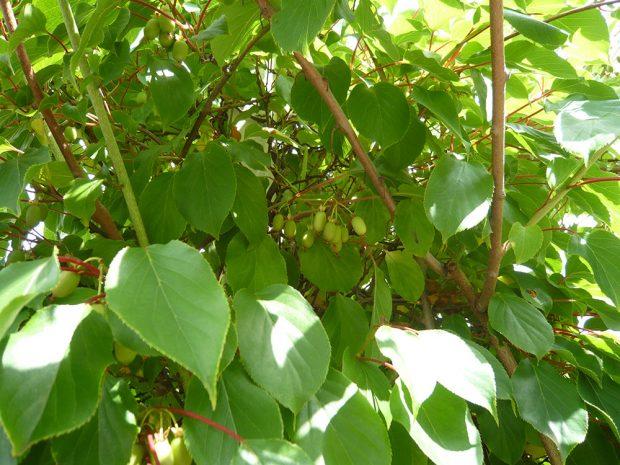 Zahradni kiwi patri mezi popinave rostliny, ktere potrebuji stabilni oporu.