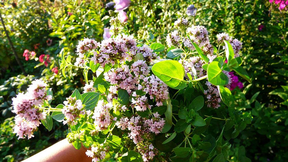 Aromatická zahrada jako nový zahradní trend