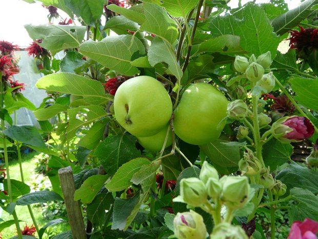 Staré odrůdy jabloní se opět vrací do českých zahrad.
