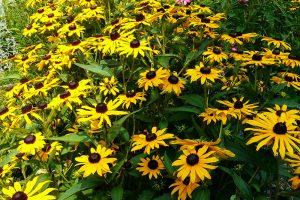 Třapatka zářivá patří do skupiny trvalek plného léta. Její květy se hodí také k řezu.