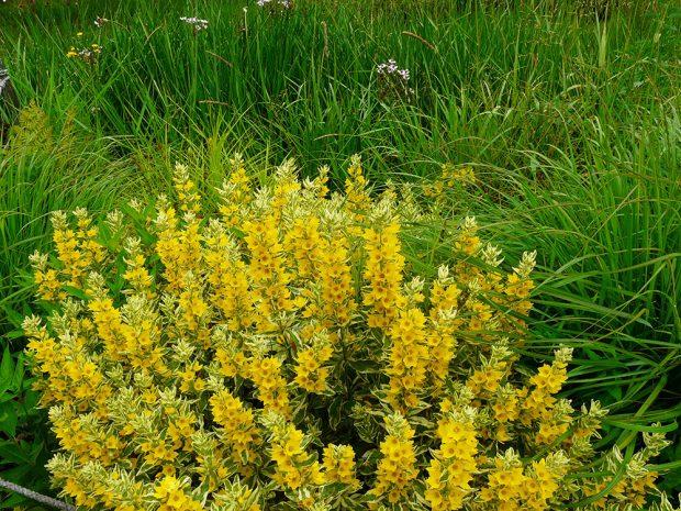 Vrbině tečkované vyhovují především stanoviště se živnou půdou.
