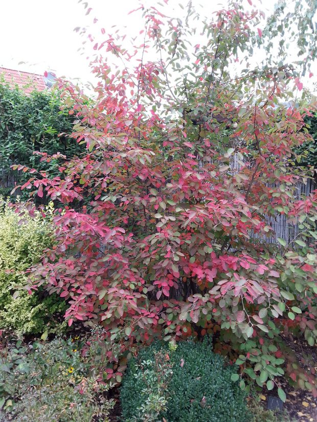 Karmínová barva listů je na podzim typická i pro některé druhy muchovníků.