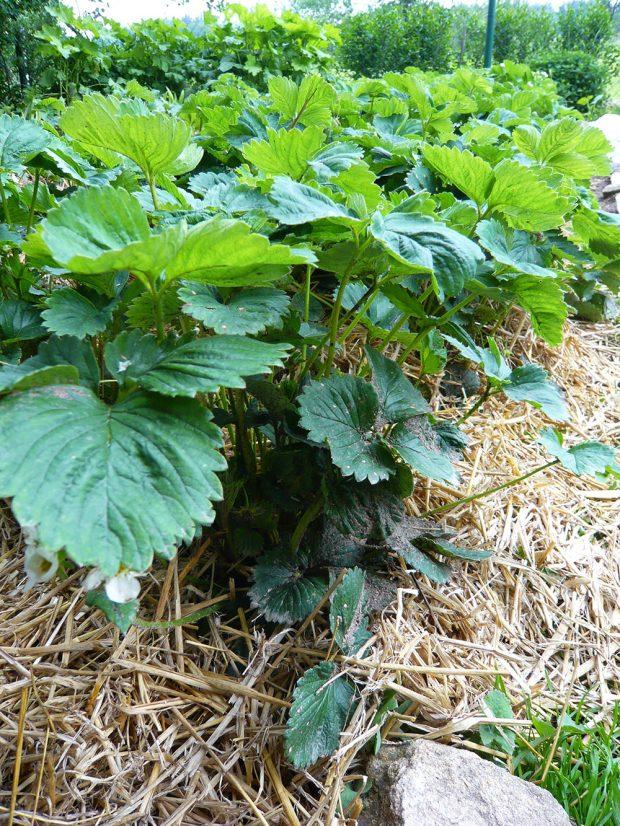 Mulčování slámou je dobrou metodou, jak zakrýt povrch půdy a zároveň dodat do půdy živiny.