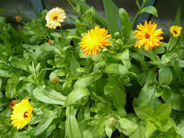 Některé bylinky odpuzují různé hmyzí škůdce, navíc je lze použít jako zelené hnojení nejen na podzim.