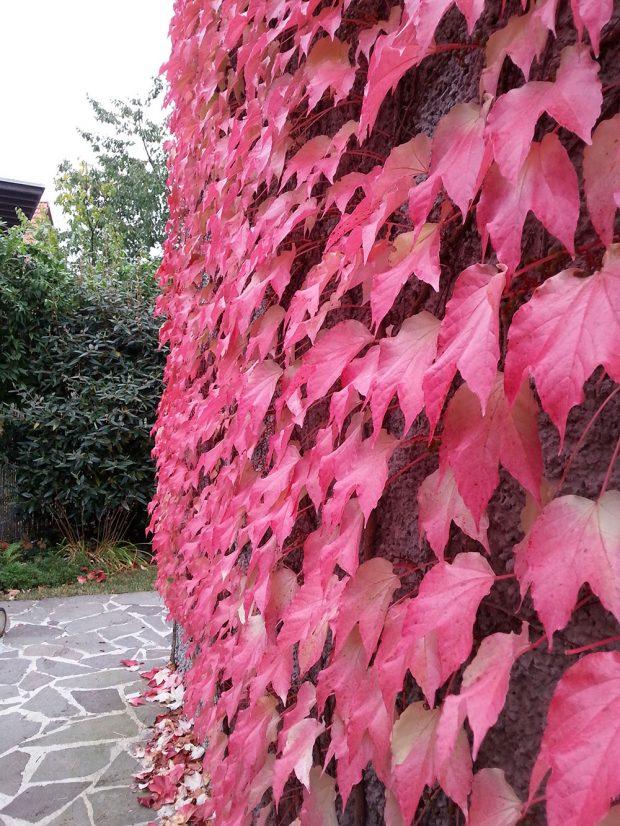 Na podzim své listy přebarvují i některé popínavky.