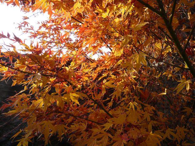 Zajímavé barvy listů nejen na podzim mají například japonské javory.