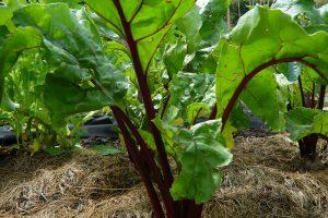 Zeleninové záhony lze mulčovat posečenou trávou, která se postupně rozkládá a obohacuje půdu o živiny.
