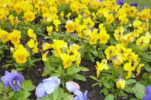 Drobnokvětá maceška psí Rocky Golden Yellow a maceška zahradní True Blue. foto: Lucie Peukertová