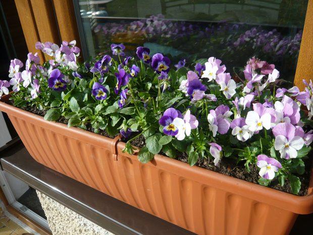 Drobnokvěté macešky se perfektně hodí pro výsadbu do nádob na okenní parapet. foto: Lucie Peukertová