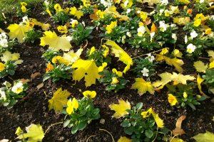 Macešky vnáší do zahrady zvláště na podzim krásné živé barvy, na které se můžete těšit i příští rok. foto: Lucie Peukertová