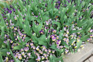 Podsadba macešek ještě před rozkvětem tulipánů. foto: Lucie Peukertová