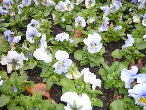 Velkokvětá maceška zahradní Cats Light Blue. foto: Lucie Peukertová