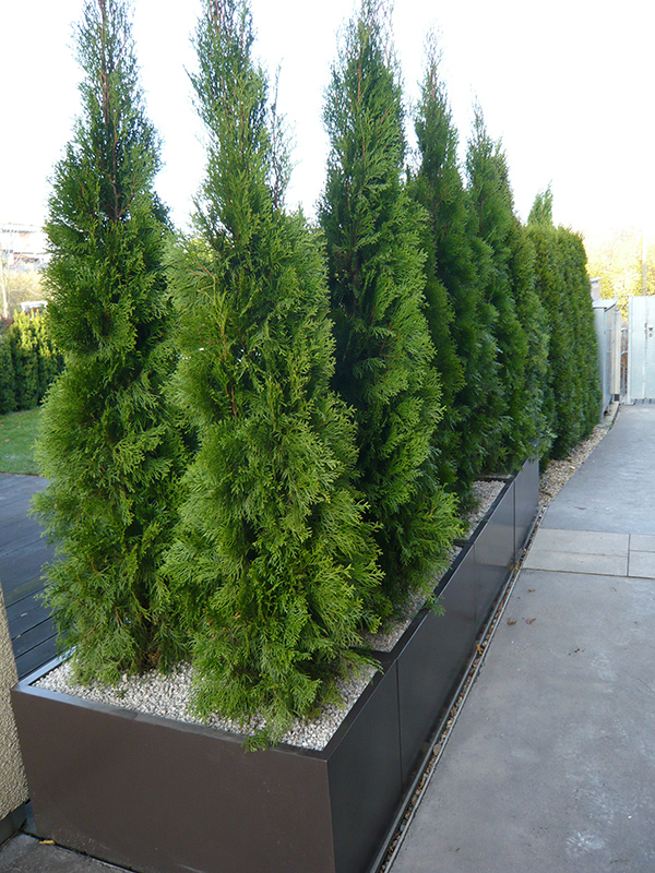 Zazimování dřevin v nádobách řešte již při výsadbě. Do nádob naistalujte třeba polystyrén a geotextilii.
