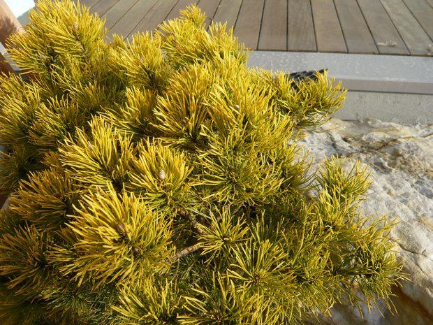Borovice kleč ´Winter Gold´ na zimu přebarvuje jehlice do zlatých odstínů. foto: Lucie Peukertová