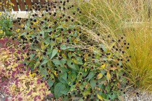 Při plánování trvalkových záhonů myslete i na druhy s okrasnými semeníky, které záhony ozvláštní hlavně v zimě. foto: Lucie Peukertová